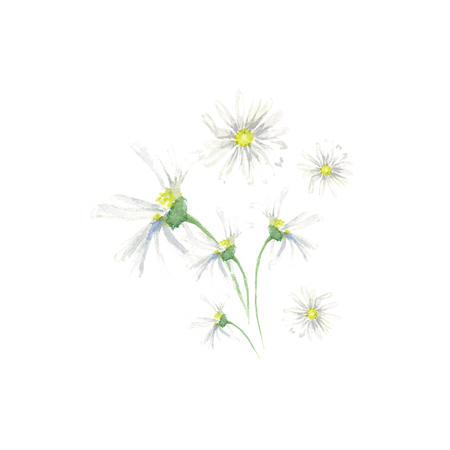Hand drawn watercolor camomile with green leaves set, isolated on white background Imagens