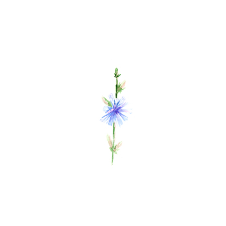 Botanical watercolor hand-painted illustration of Chicory on white background Zdjęcie Seryjne