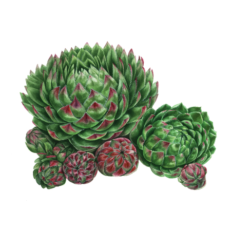Watercolor Succulent Painting. Green plant isolated on white background, Sempervivum botanical illustration Imagens