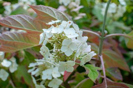 The Closed-Up White Flower hydrangea in the park. Zdjęcie Seryjne