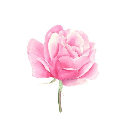 Rose. Hand-drawn watercolor botanical illustration. Realistic isolated object Stockfoto