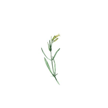 White campion flower Silene latifolia. Hand-drawn watercolor botanical illustration. Realistic isolated object Banco de Imagens