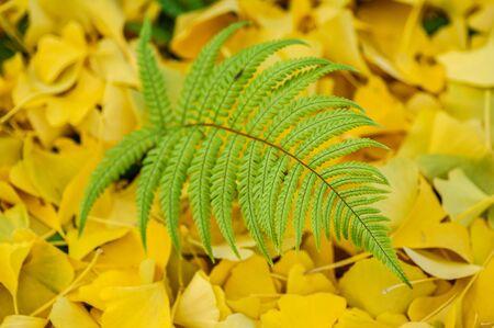 Green fern leaf on yellow ginkgo leaves