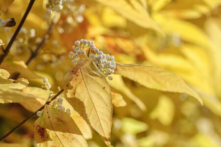 Beautiful white berries Callicarpa bodinieri with autumn colors in the background Zdjęcie Seryjne