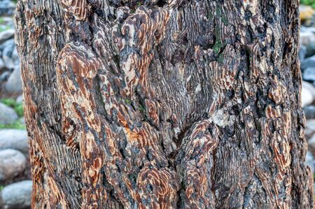 larch tree bark tree in the valley on Altai, Russia Zdjęcie Seryjne