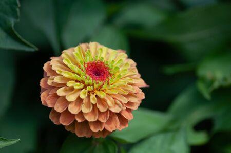 Close-up of Orange Zinnia in Summer Garden