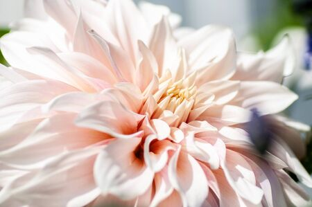 Flower petals soft sweet tones of sweet style Background for decoration close-up concept ideas.
