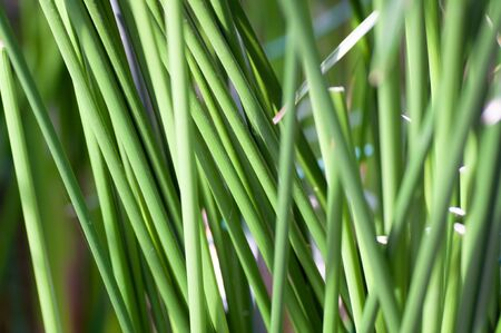 Green stems of palm grows. Natural pattern