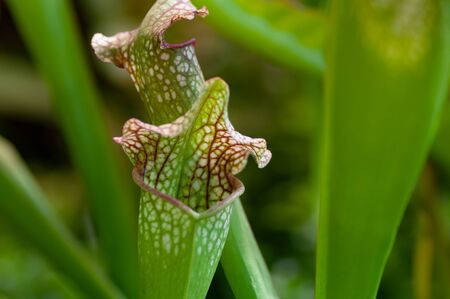 Sarracenia pitcher plants, commonly called trumpet pitchers