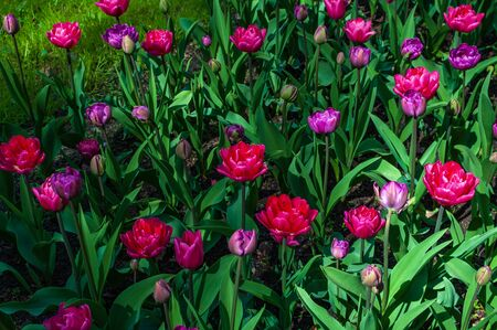Colorful bright tulips in the park. Spring landscape