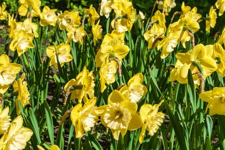 A yellow narcissus flowers and green leaves