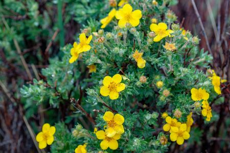 Yellow flowered acacia bush from the valley in Altai, Russia