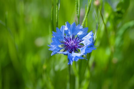 Outdoor blooming blue carnation flowers and green leaves Dianthus chinensis L.