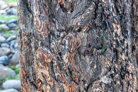 larch tree bark tree in the valley on Altai, Russia. Zdjęcie Seryjne
