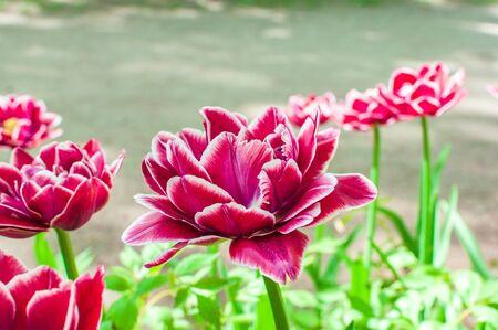 Blooming pink tulips in the park. Spring landscape.
