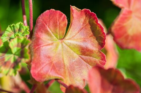 The colored leaf of Pelargonium in close-up. A Geranium-like an evergreen plant.