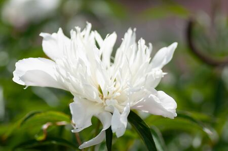 close up of white peony flower. Peony in bloom.
