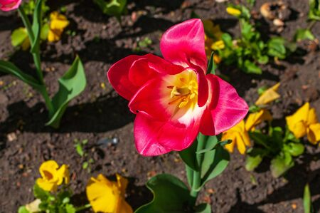 Close-up of warm pink tulip bud in a garden. Zdjęcie Seryjne