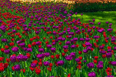 Colorful bright tulips in the park. Spring landscape.