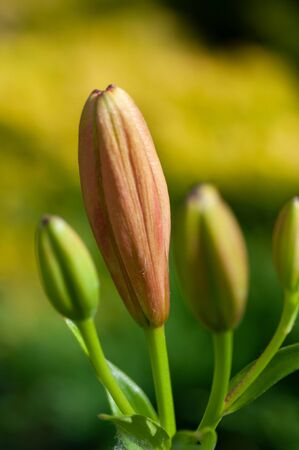 Lily. The buds of the flowers are orange lilies in the garden. Vertical photography.