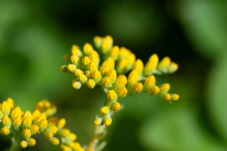 Sedum palmeri plant with bright golden-yellow small star-shaped flowers, close up. Palmers sedum ornemental succulent in Crassulaceae family bloom in spring Zdjęcie Seryjne
