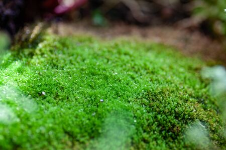 Beautiful green moss on the floor, moss closeup, macro. Beautiful background of moss for wallpaper. Zdjęcie Seryjne