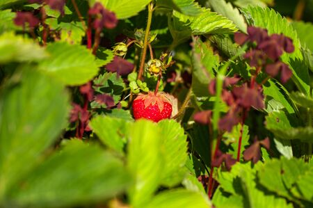 Organic Red Strawberry plant. Wild organic stawberry bushes. Strawberries in growth at garden. Zdjęcie Seryjne