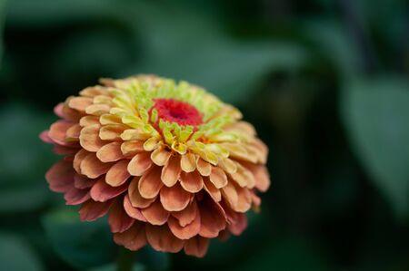 Close-up of Orange Zinnia in Summer Garden.