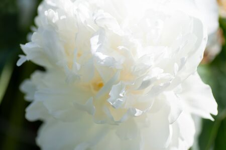 Close up of white peony flower. Peony in bloom