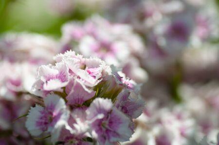 field of Pink phlox flowers background closeup.
