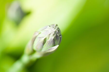 Hosta flower bud on a blurry background of foliage.