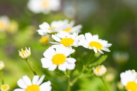 The white daisy flowers on green foliage background in garden