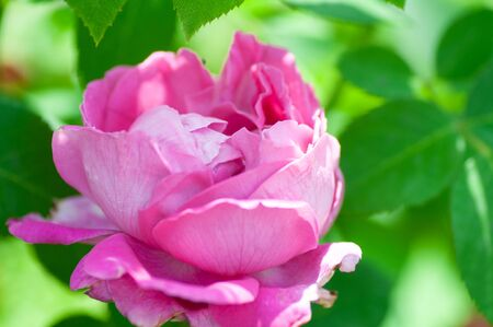 Pink Rose Flower isolated on green foliage background