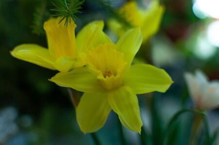 bunch of Narcissus. yellow corolla with a central yellow corona 版權商用圖片