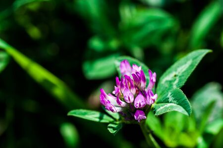 Pink clover flower blossomed in the meadow 스톡 콘텐츠
