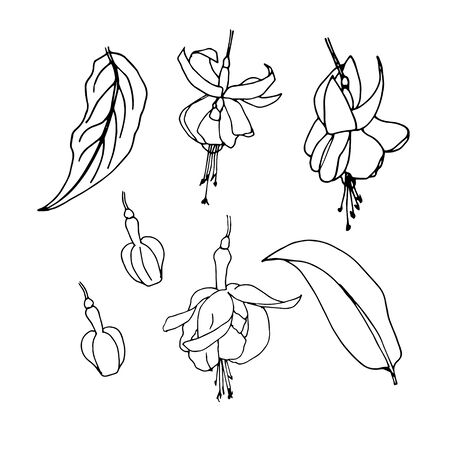 Sketches of flowers fuchsia by hand drawing. Fuchsia flowers and leaves vector on white background.