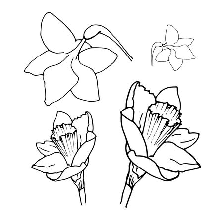 Daffodil drawing set isolated on white background. Vector sketch narcissus illustration. Narcissus in bloom. Ink painted narcissus flowers over white. Blossom collection. Hand drawn illustration. Ilustracje wektorowe