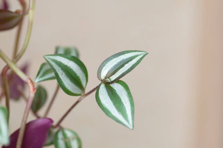 Red and green leaf of tradescantia pot plant. Botanical macrophotography for illustration of tradescantia