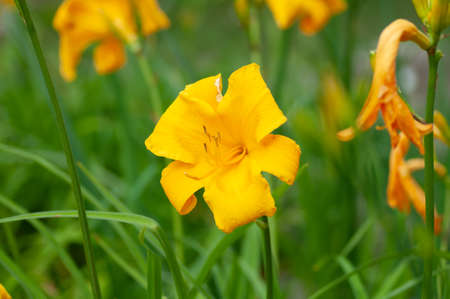 Yellow day lily, lily green scene background