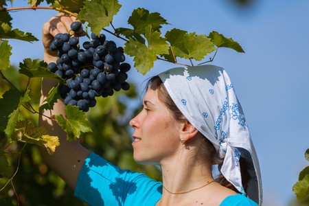 young happy Woman picking grape during wine harvest