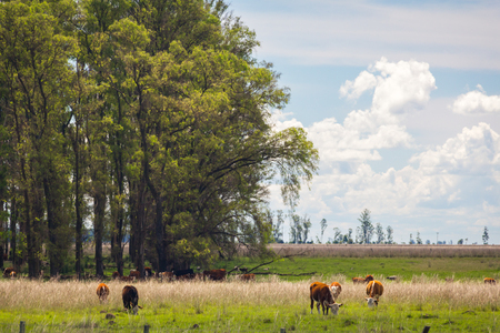 Cattle grazing in pasture on the field. big trees in bckground.
