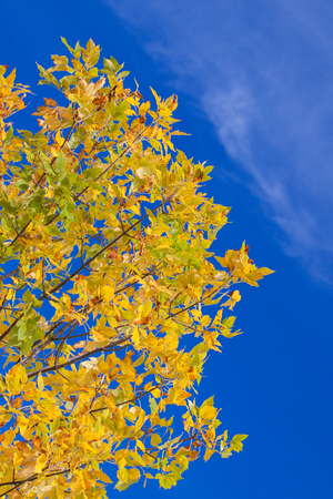 Autumn yellow leaves with the blue sky background Stock Photo