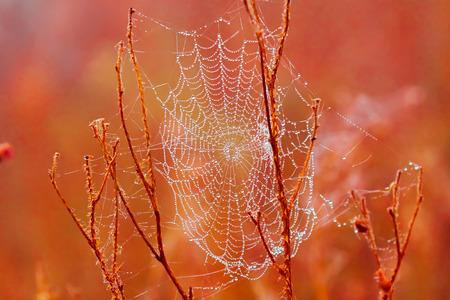 Cobweb in dewdrops on red autumn grass on a blurred background closeup, shallow depth of field, selective focus 免版税图像