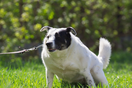 Fat white dog with black spot on face have fun in green grass meadow at sunny day Stock Photo