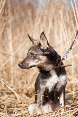 Dog with leash outdoor In Green Field Stock Photo
