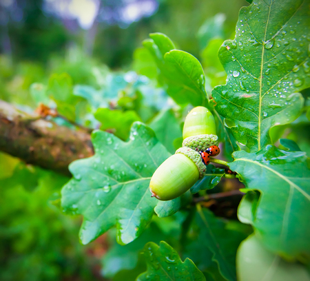 Spring Acorn And two Ladybugs On a green Oak Tree closeup