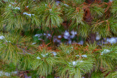 Christmas Background with snow on beautiful green pine tree brunch closeup, selective focus, Copy space. Banque d'images