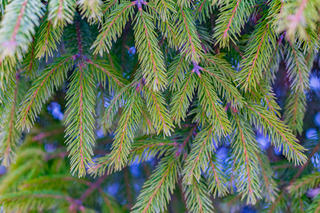 Christmas Background with snow on beautiful green pine tree brunch closeup, selective focus, Copy space. Imagens