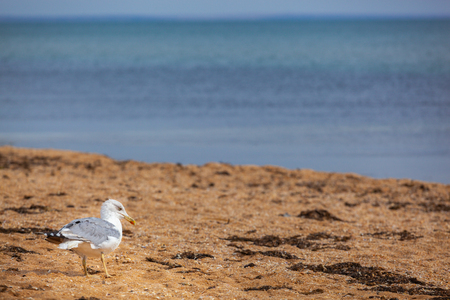 Seagull walking by the sea shore on the sandy beach, crimea