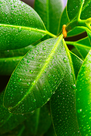 Beautiful Fresh green leaf with drops first light in the morning.Abstract image of water droplets on leaves in tropical forest nature background 免版税图像